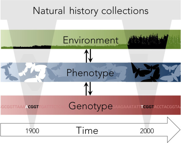 Museum collections are useful for understanding how genetics have have changed over time. Holmes et al. (2016) show this relationship here. From https://doi.org/10.1111/mec.13529