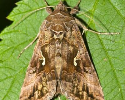 Palaearctic noctuid moth