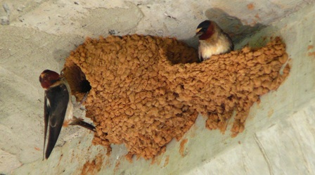 cliff swallows building nests