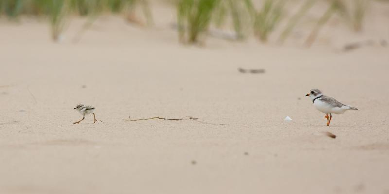 piping plover adult and chick