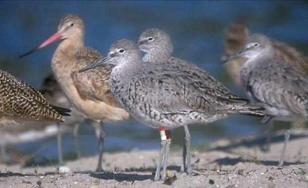 color-banded shorebirds