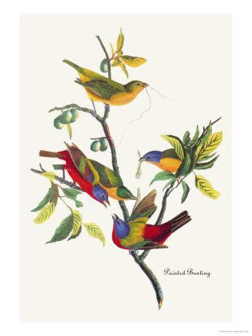 painted bunting (John James Audubon)