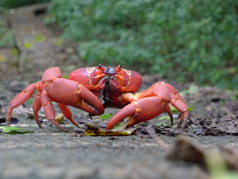 red crab (Gecarcoidea natalis)