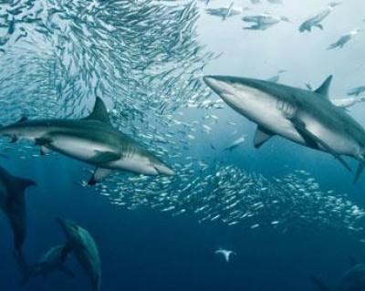 spinner shark migration