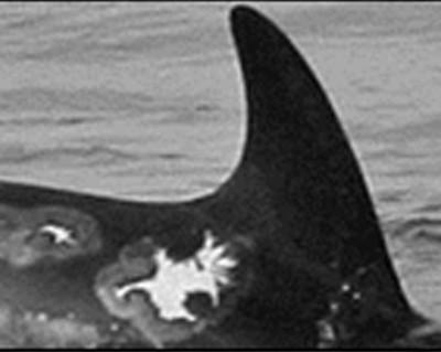 Risso's dolphin photo ID (short)