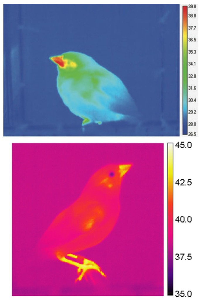 Thermal radiation of song sparrows