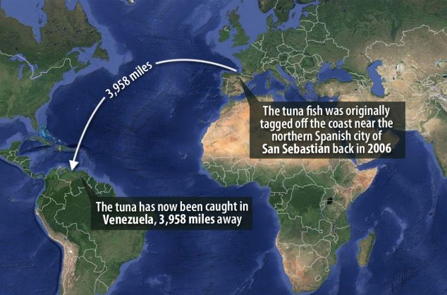 tuna movement