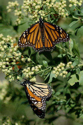 monarch butterflies on migration (photo by C. Robertson)