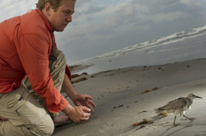 Releasing a Red Knot with Satellite Transmitter