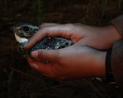 Nighthawks are adapted for foraging at dusk and dawn, when light is dim. Their eyes are huge and are more similar to an owl's eye, giving them great night vision. Photo: Janet Ng
