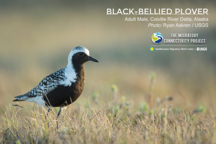 A Black-bellied Plover on his breeding grounds in Alaska