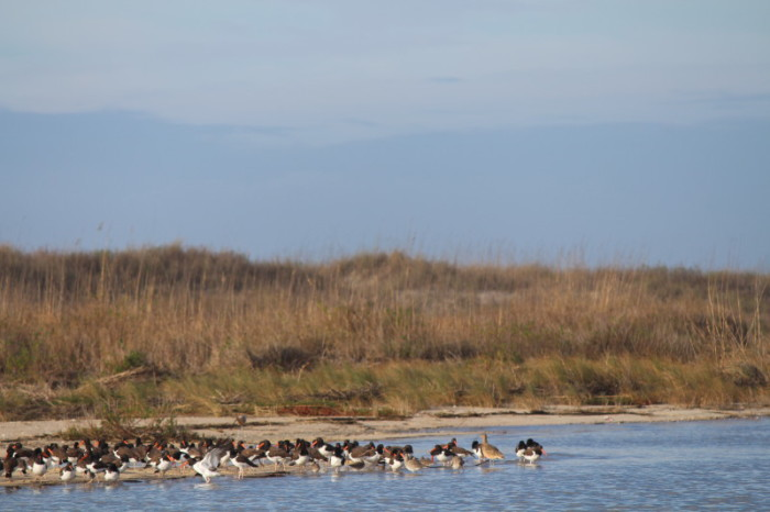 Spot the curlew. By Erin Weeks/SC DNR