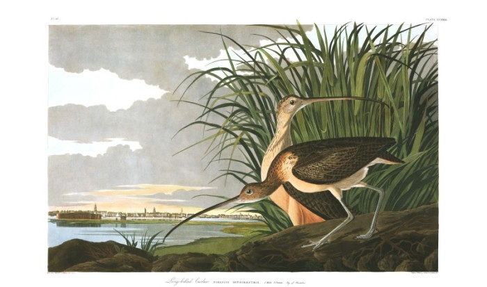 plate-231-long-billed-curlew-final