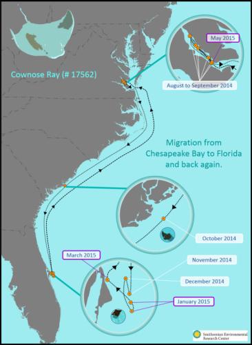 serc_cownoseraymigration17562-migration