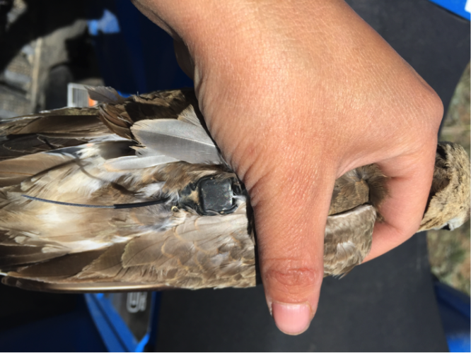 Recaptured Mountain Plover with GPS logger attached in 2015. (Photo: Alli Pierce)
