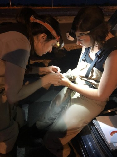 Elly and Amy attaching a transmitter to a Common Nighthawk. Photo: Jackie Scarpignato