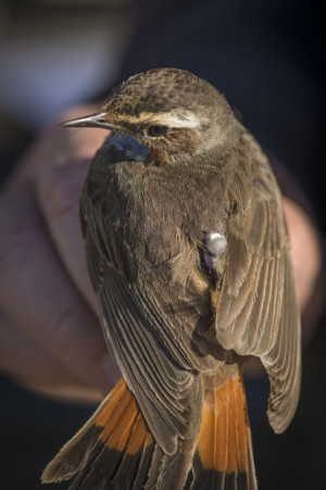 Bluethroat with geolocator. Photo: Tim Romano