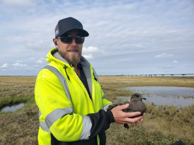 Volunteer Ari Haunschild with a dark-morph Parasitic Jaeger.