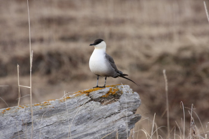 Long-tailed Jaeger.